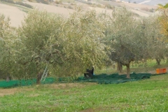 24 - Olive Picking (Sep)